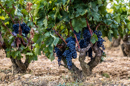 Red grapes on grapevine just before harvesting.