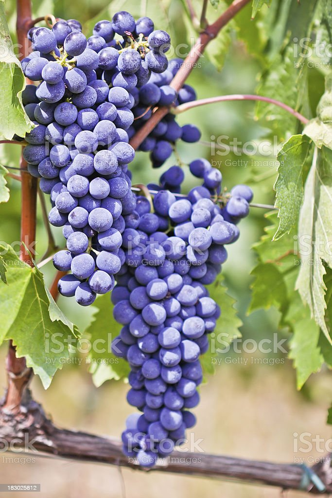 Red Grapes on the Vine, Chianti Region in Italy royalty-free stock photo