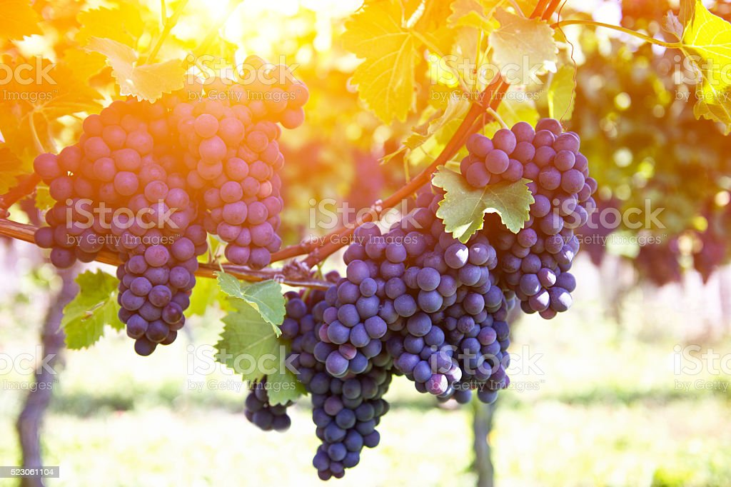 Red grapes on the vine outdoors by sunset stock photo
