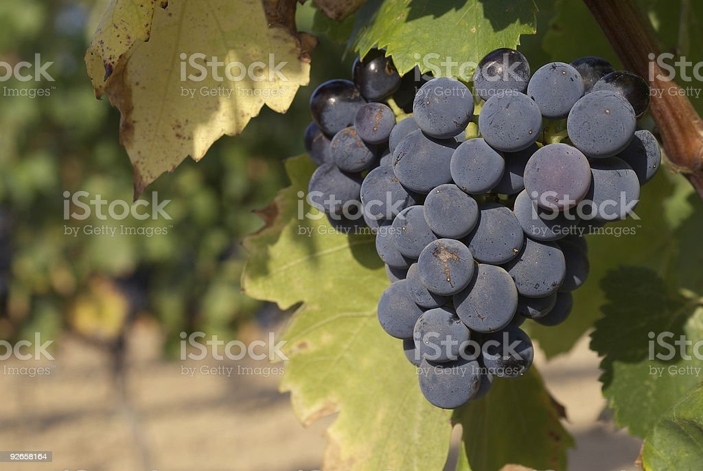 Red grapes on the vines royalty-free stock photo