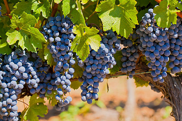 red grapes on vine red grapes hanging on vine in the region of Penedes Catalonia Spain merlot grape stock pictures, royalty-free photos & images