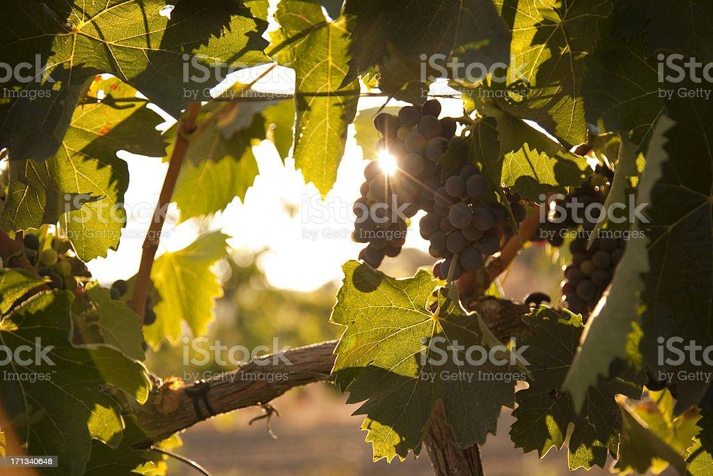 Rote Weintrauben. – Foto