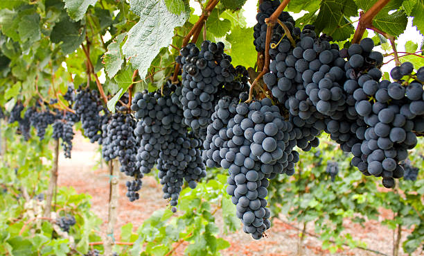 Red grapes. rows of a vineyard in autumn cabernet sauvignon grape stock pictures, royalty-free photos & images