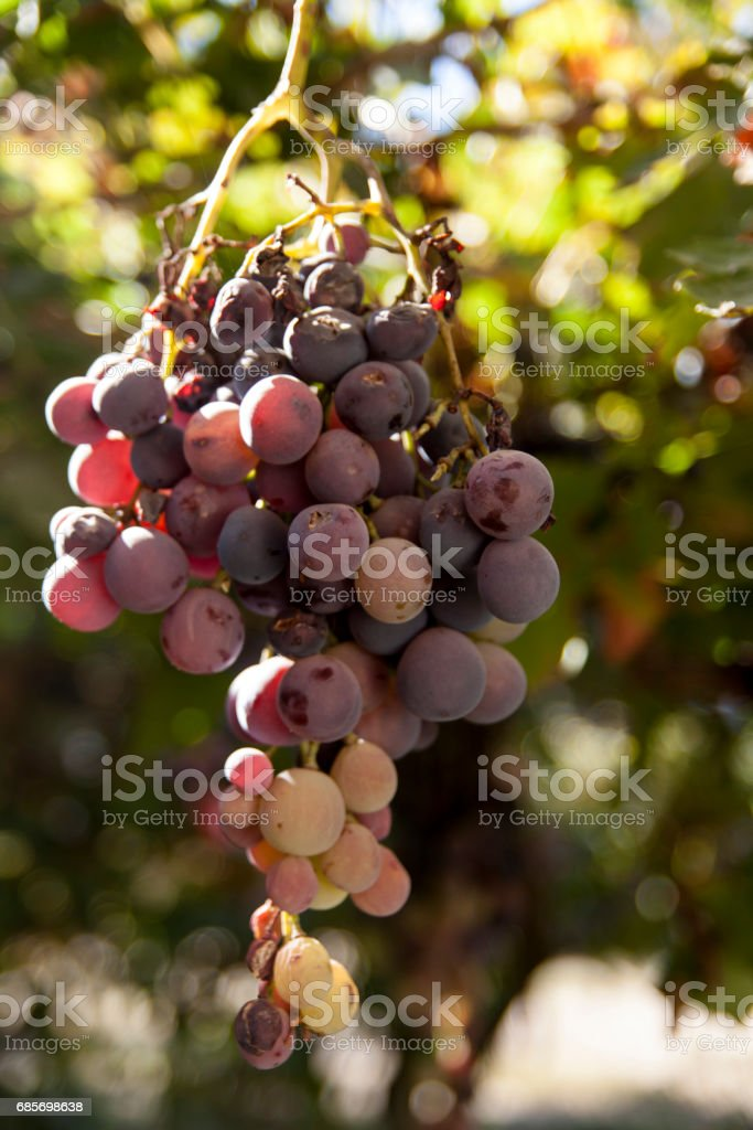 Uvas rojas stock photo