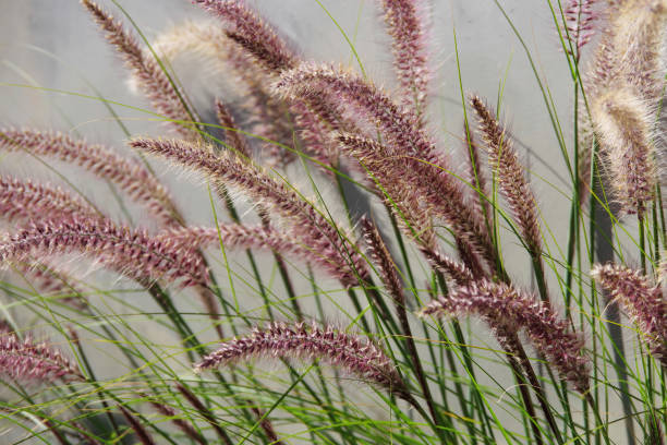 Red Grass Panicles stock photo