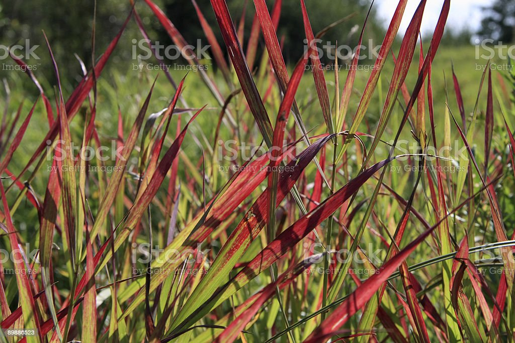 Red Gras Lizenzfreies stock-foto