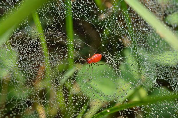 rot gras spinne, web glitzernde im tautropfen - wilde hilde stock-fotos und bilder