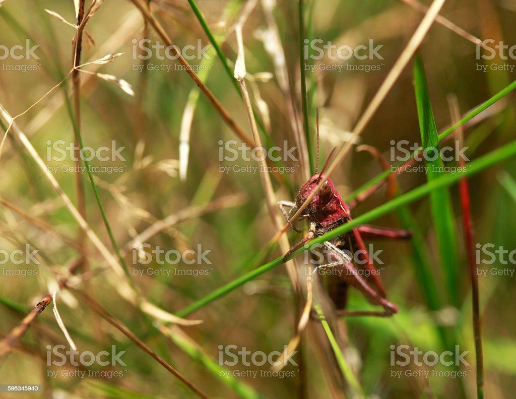 red grasshopper royalty-free stock photo