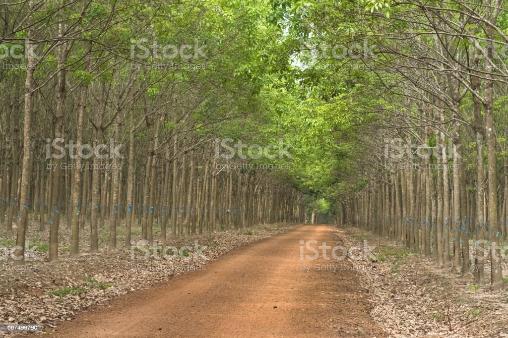 Red gravel way to the rubber plantation in Vietnam's foto stock royalty-free