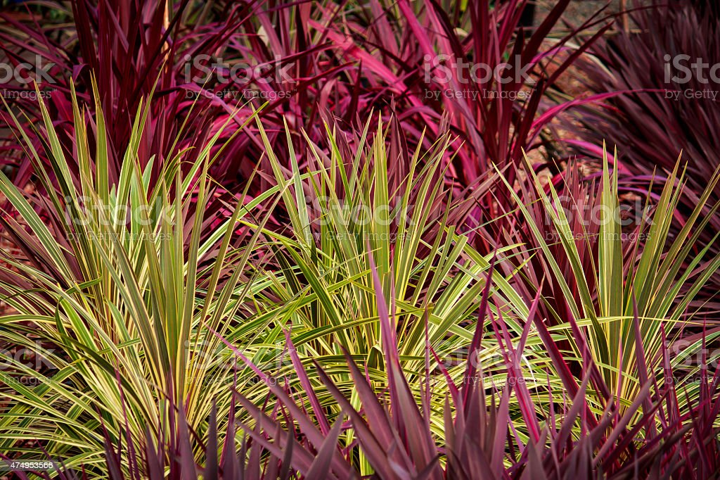 Red green cordyline grass plants background stock photo