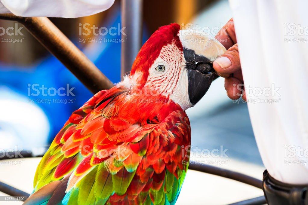 Um vermelho - verde arara papagaio perfil vista, empoleirado, comendo a comida das mãos de seu proprietário, ao ar livre. - foto de acervo