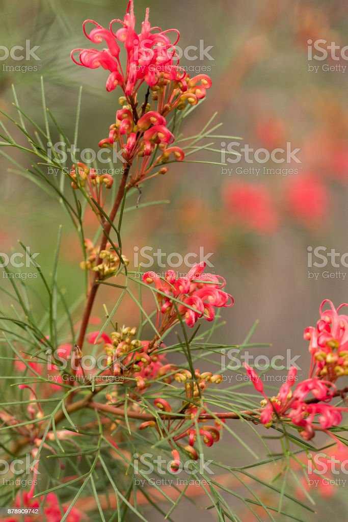 red grevillea flowering plant stock photo