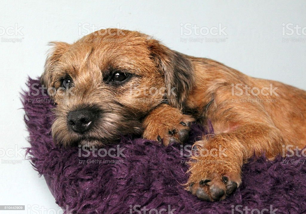 Red Grizzle Border Terrier Female 7 Months Old Puppy Stock Photo ...