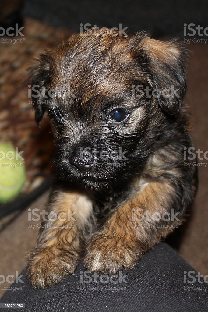 Red grizzle Border Terrier male 6 weeks old puppy stock photo