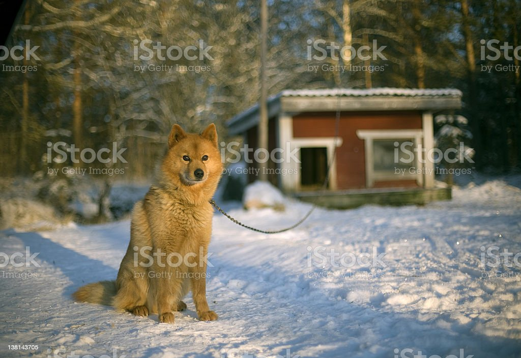 red guard dog stock photo