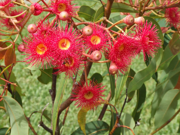 Red gum flowers with bee stock photo