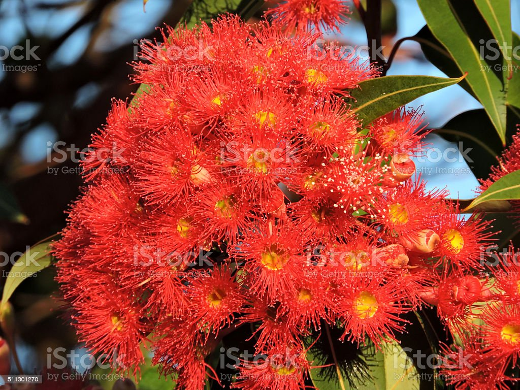 Red Gum Tree Blossoms stock photo