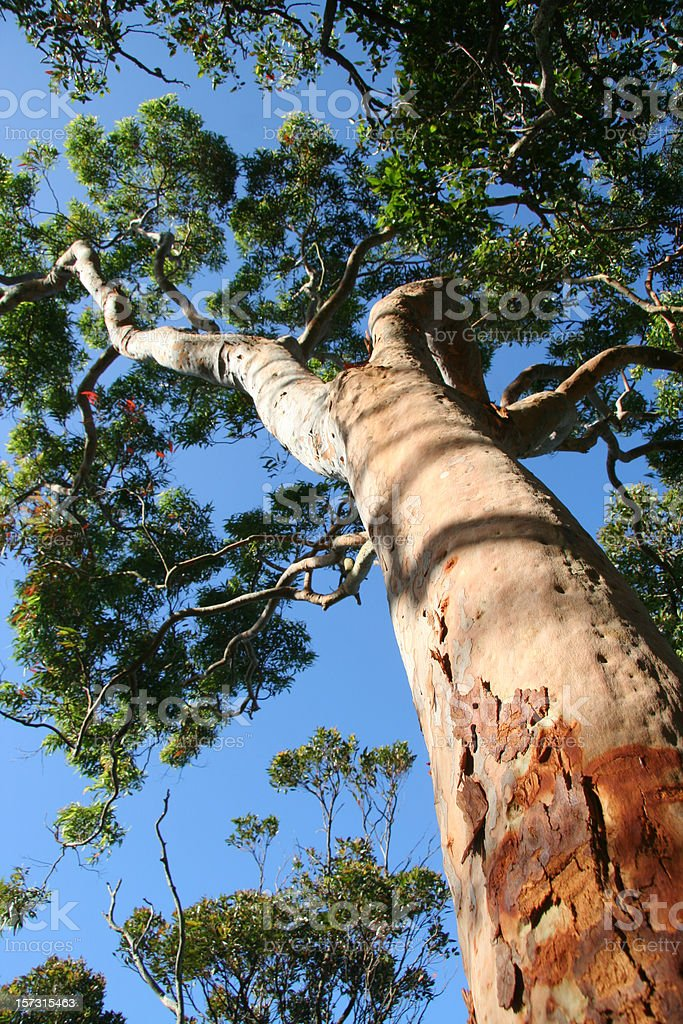 Red Gum Tree royalty-free stock photo