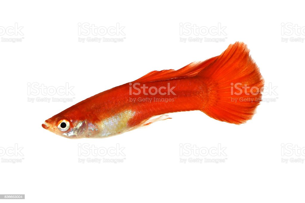 Red Guppy Poecilia Reticulata Colorful Rainbow Tropical Aquarium Fish Stock Photo Download Image Now Istock
