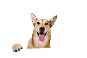 istock Red hair dog sitting, looking at the camera, isolated on white 1138916815