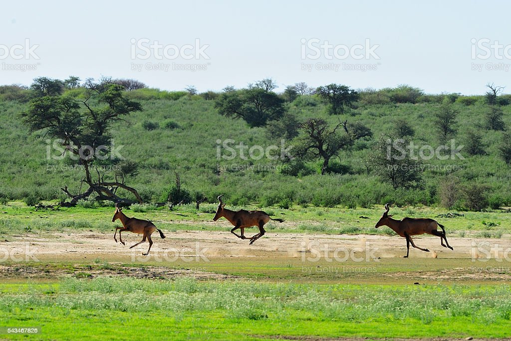 Red hartebeest chasing each other stock photo