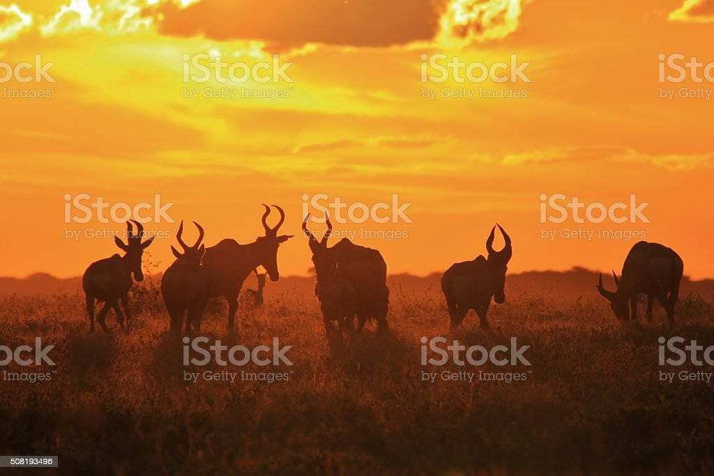 Red Hartebeest - Colors in Nature stock photo
