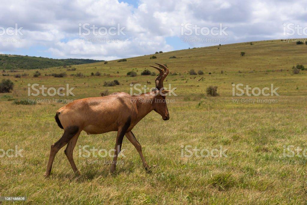 Red hartebeest grazing around on the savanna in Addo Elephant Park stock photo