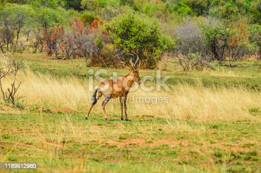 Red hartebeest (Alcelaphus buselaphus caama or Alcelaphus caama) grazing in a game South Africa