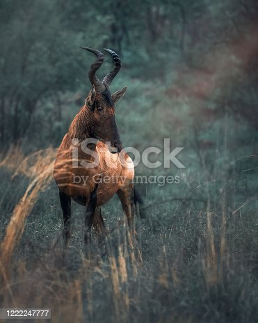 red hartebeest on safari