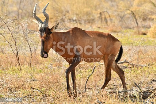 Hartebeest stand and sit beneath trees for shade in Southern Africa