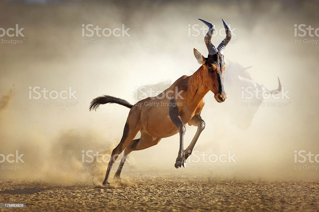 Red hartebeest running in dust stock photo