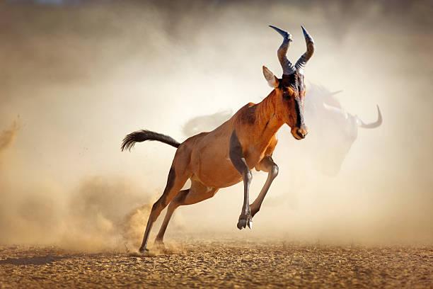Red hartebeest running in dust stock photo