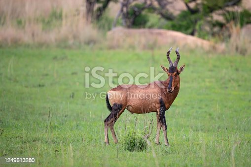 Red Hartebeest standing in the green grass in a Game Reserve in Kwa Zulu Natal in South Africa