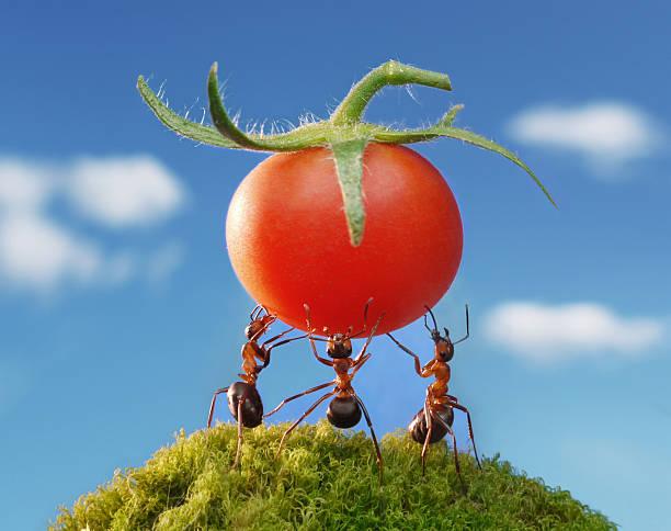 red harvest von Ameisen – Foto