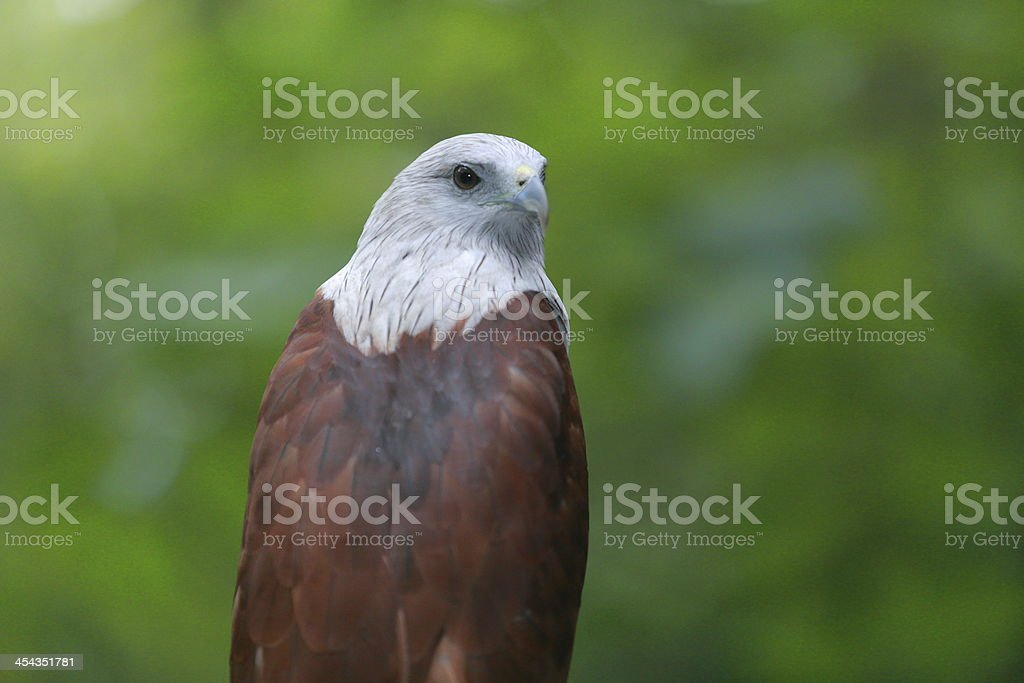 Red Hawk Stock Photo - Download Image Now - iStock