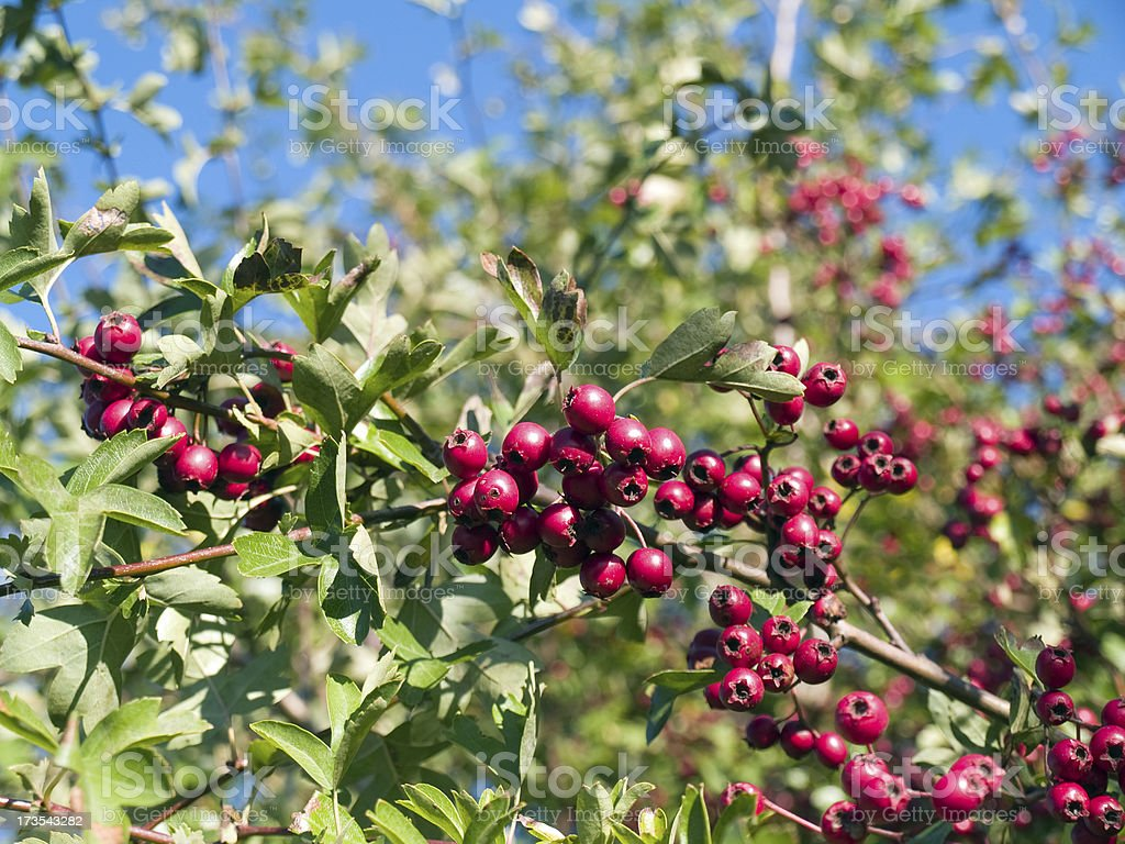 Red hawthorn berries on a bush on sunny autumn day. royalty-free stock photo