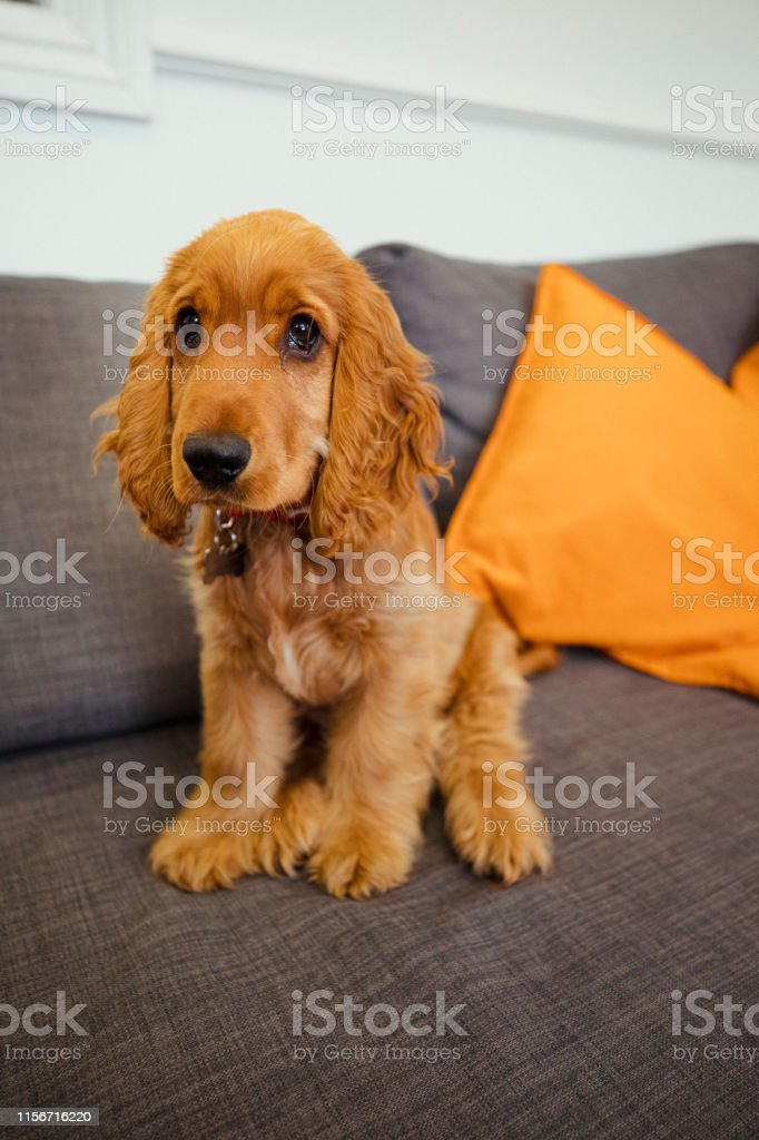Red Head Cocker Spaniel Stock Photo Download Image Now Istock