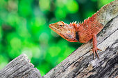 Red head lizard lift his head up on the piece of wood with the green background.