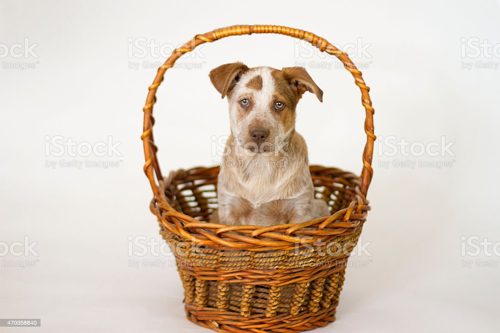 Red Heeler Puppy in a Basket stock photo