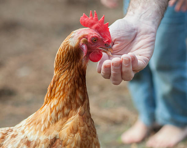 Red Hen being fed from hand stock photo