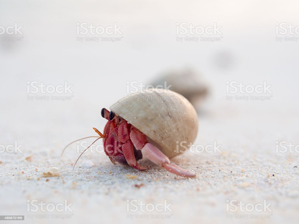 red hermit crab stock photo
