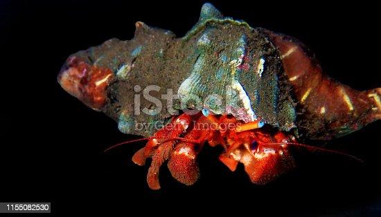 Dardanus arrosor, the Red reef hermit or Mediterranean hermit crab, is a species of hermit crab