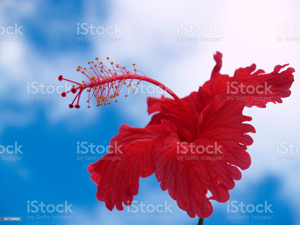 red hibiscus flower agains the sky royalty-free stock photo
