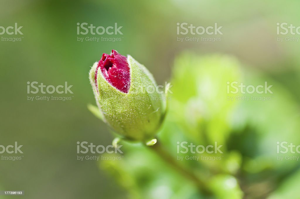 Red Hibiscus Flower bud, green stem, leaves, isolated, defocussed background royalty-free stock photo
