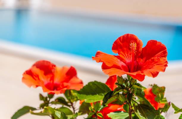 Eine rote Hibiskusblume an der Seite eines Außenpools in einer spanischen Villa – Foto
