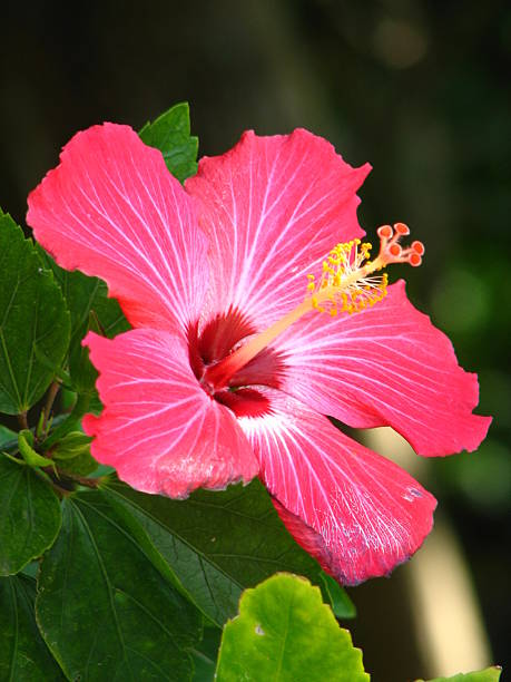 Red Hibiscus Flower In High Definition Stock Photo More Pictures