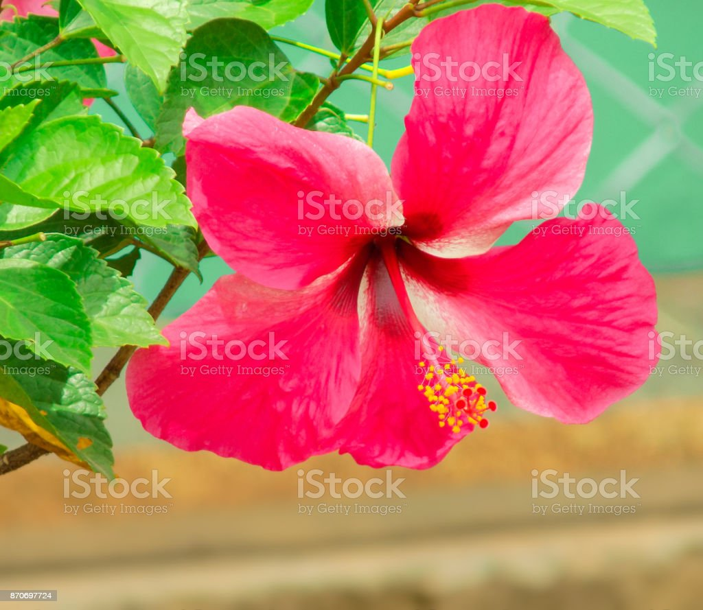 Red Hibiscus flower in nice background stock photo