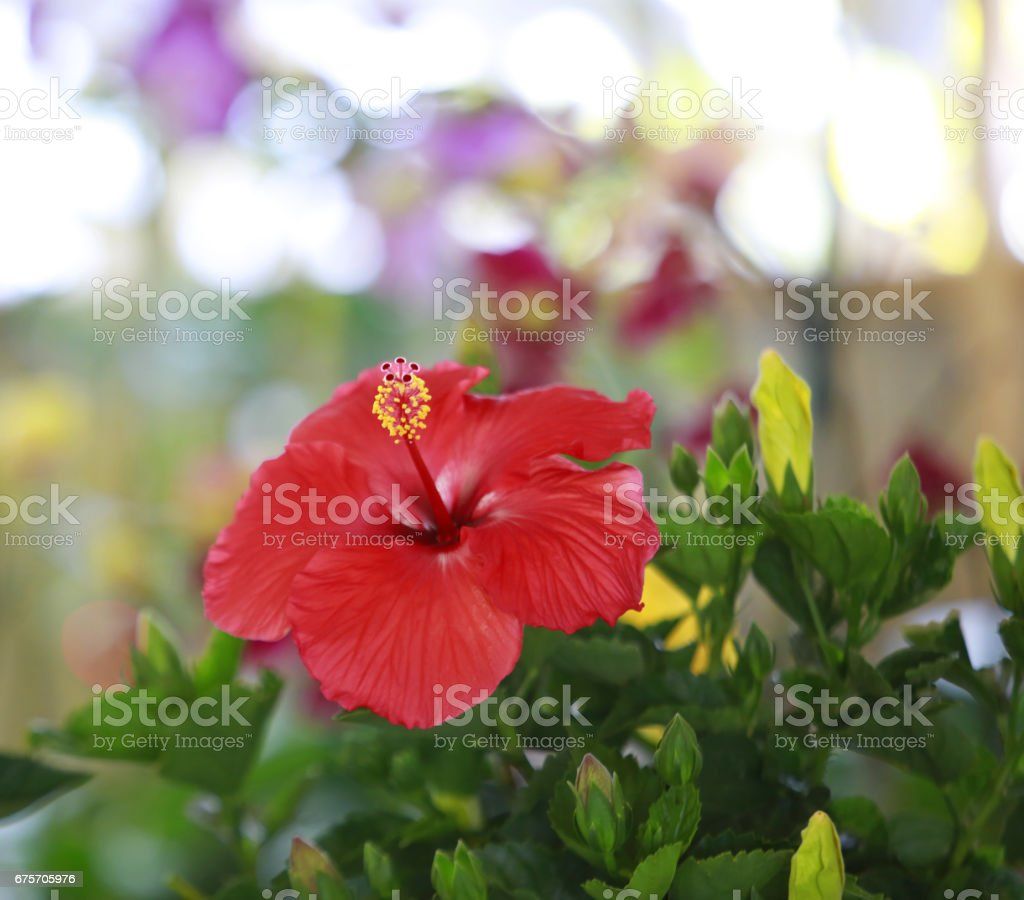 Red Hibiscus flower in the garden 免版稅 stock photo