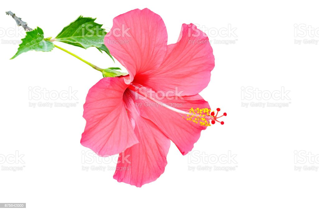 Red Hibiscus Flower Isolated On White Background Free Space For Text