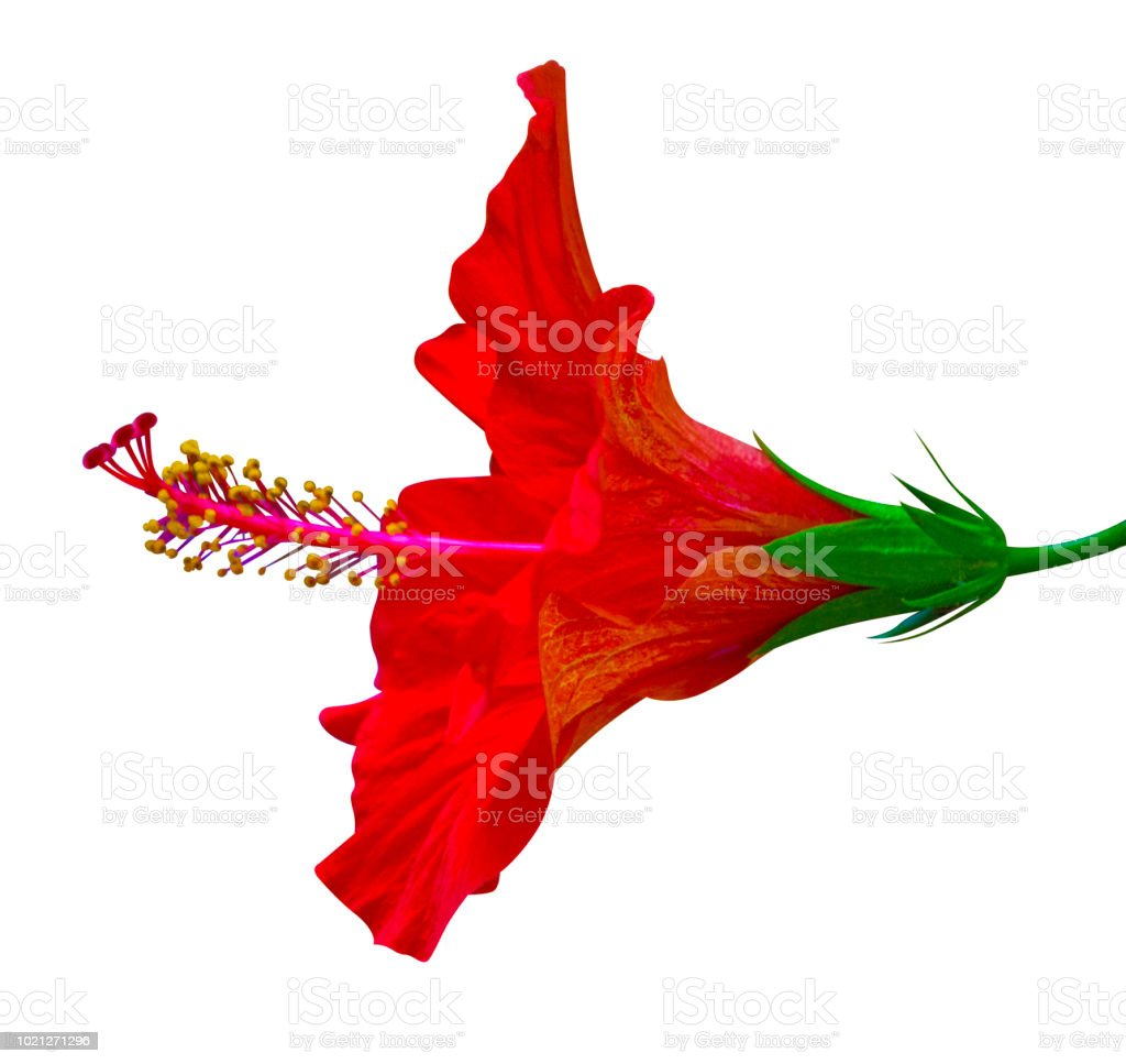 Red Hibiscus Flower Isolated On White Background Stock Photo More